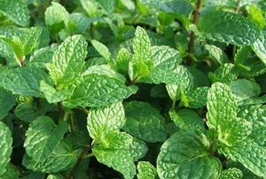 Peppermint Hydrosol Floral Water Facoty and Manufacturer