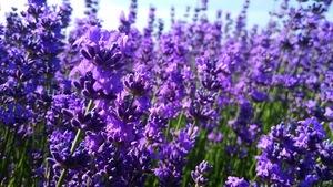 OEM/ODM lavender hydrosol,lavender flower water