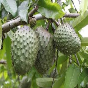PURE AND NATURAL CUSTARD APPLE SEED OIL FAST DELIVERY