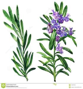 Natural and pure rosemary essential oil at manufacturing price