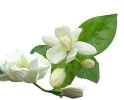 100% Pure & Natural Jasmine Essential Oil/Jasmine Essential Oil From BORG