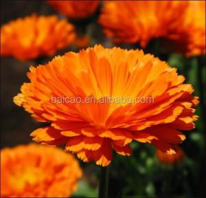 Natural Essential oil marigold oil, calendula oil, calendula officinalis oil